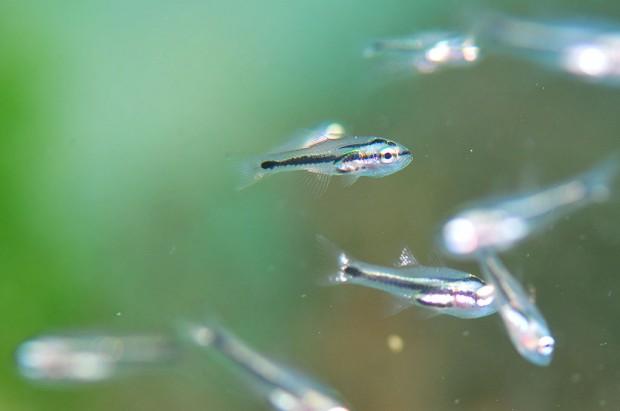 イシモチ幼魚
