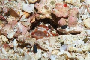 紅白ジョーフィッシュの口内保育